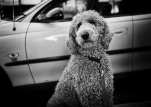 'Rudy' the standard poodle